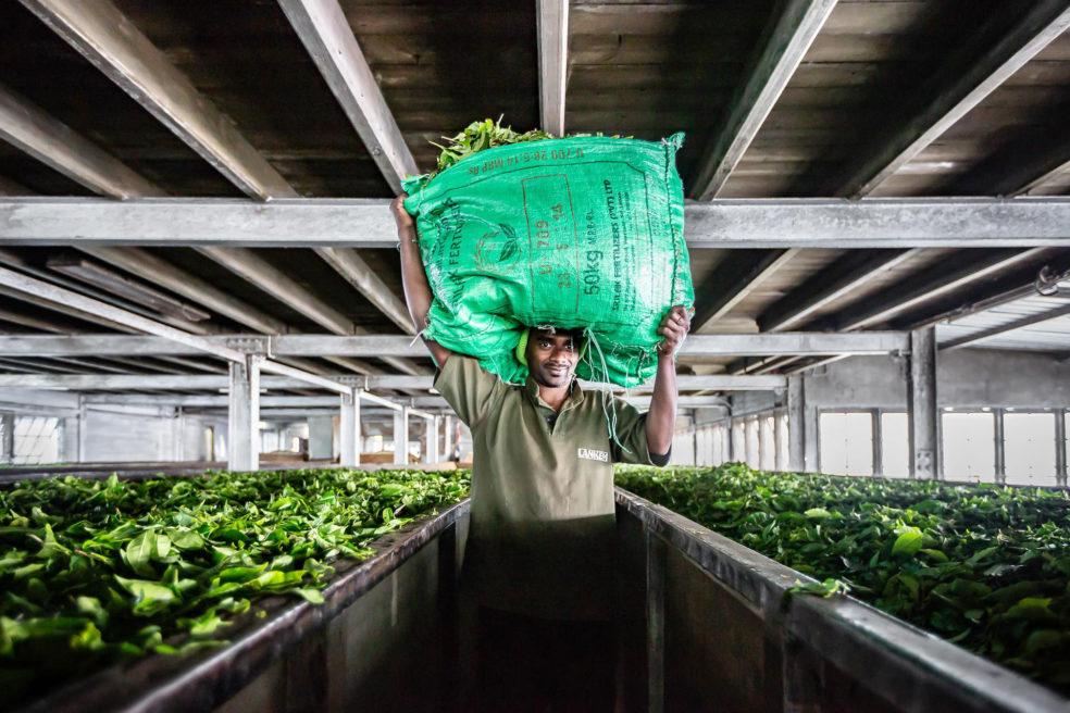 Dambatenne tea factory : the green gold of sri lanka