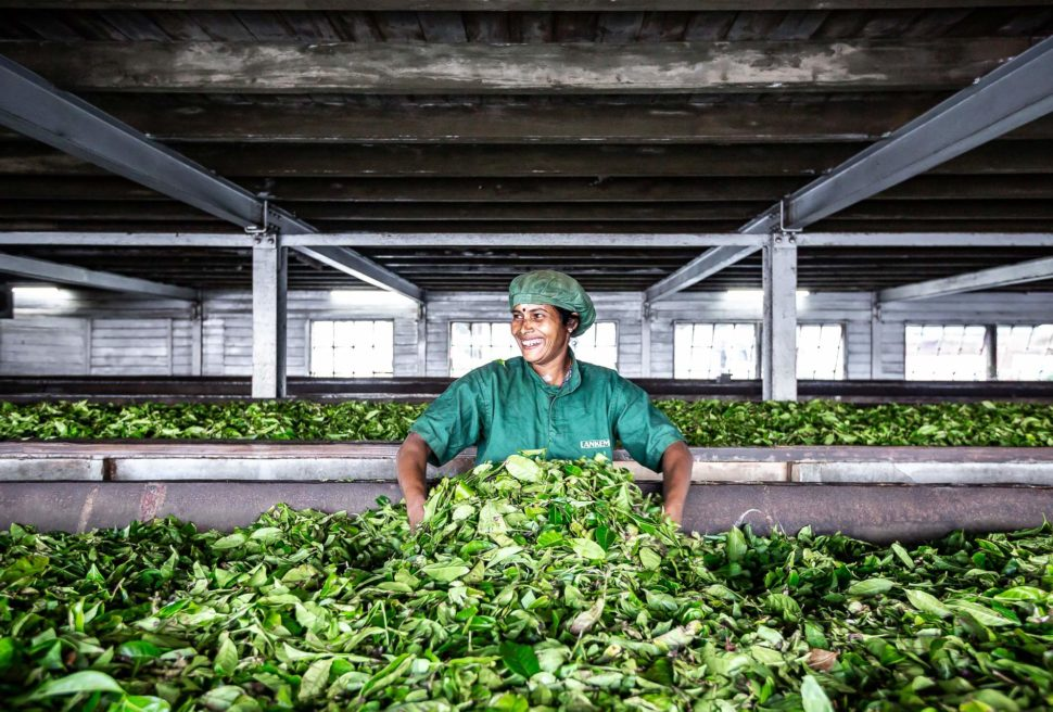 Dambatenne tea factory : the green gold of sri lanka